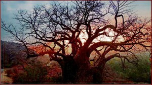A Two-Thousand-Year-Old Baobob Tree at Dawn